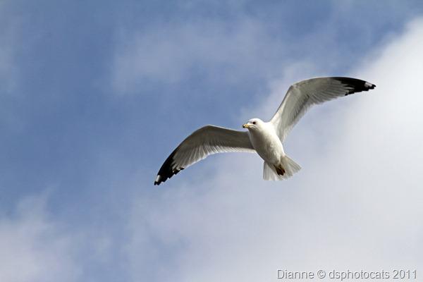 IMG_2198 Flying Gull