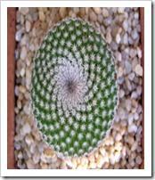 Mammillariatlalocii