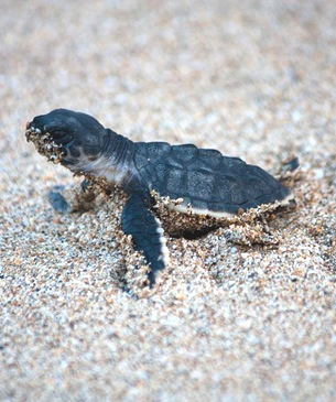 Baby Sea Turtle