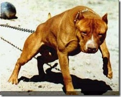 pitbull_terrier-300x240