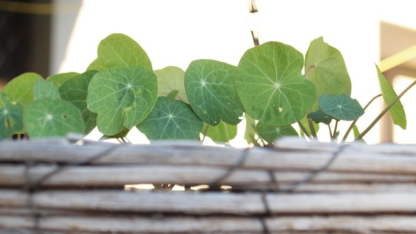 little nasturtiums