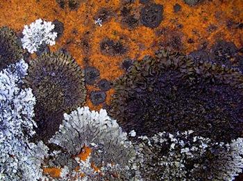 lichen (Medium)