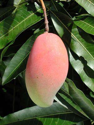 اهم اصناف المانجو المحلية المصرية التى يتم زراعتها فى مصر  في الوقت الحالي وصورها-لا تفوتك Dvd4arab.com-dongolll%20mango%20%283%29