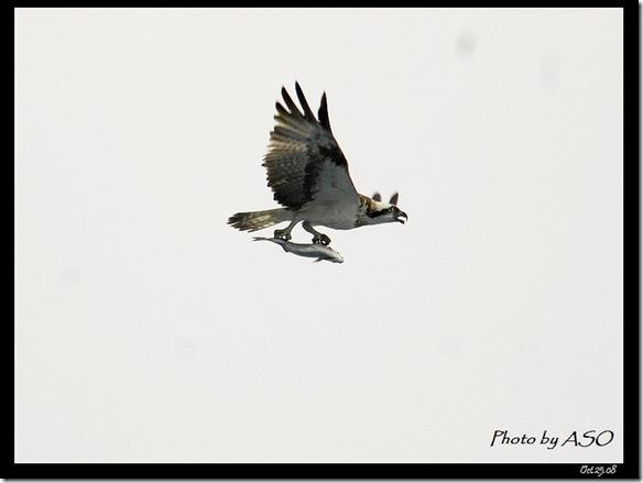 魚鷹(2008-10-25七星潭)1437