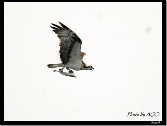 魚鷹(2008-10-25七星潭)1441