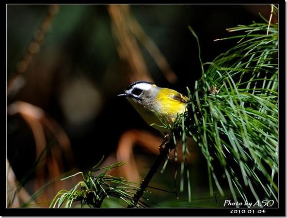 火冠戴菊鳥(2010-01-04阿里山)9099