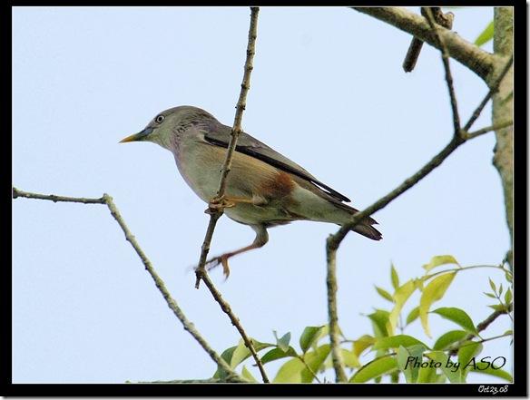灰頭椋鳥1200