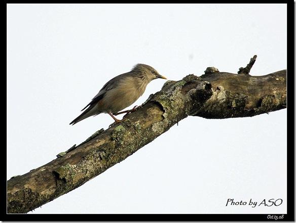 灰頭椋鳥(2008-10-23穎達農場)1226