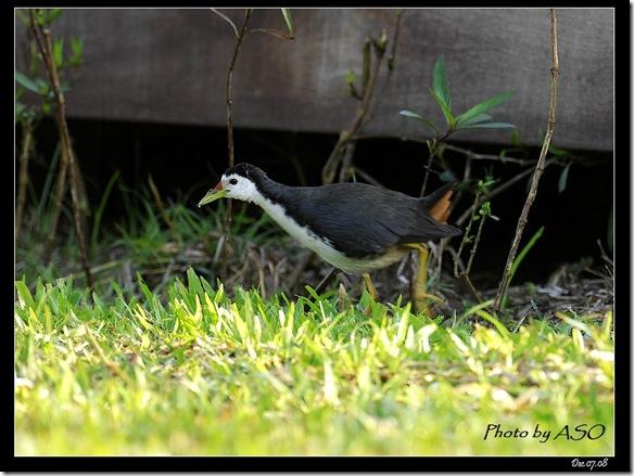 白腹秧雞(2008-12-08鯉魚潭)4119