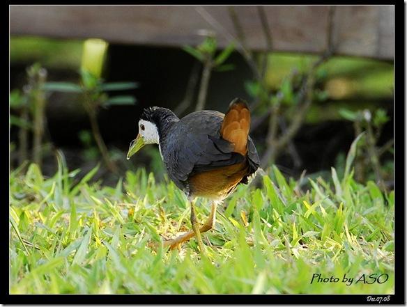 白腹秧雞(2008-12-08鯉魚潭)4122