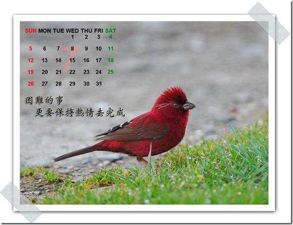 7月  酒紅朱雀(攝於  合歡山)