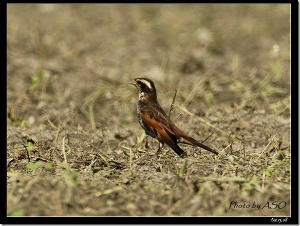 斑點鶇(2008-12-13鳳林)4439