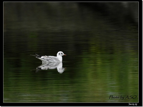 紅嘴鷗(2009-01-04宜蘭塭底)5684