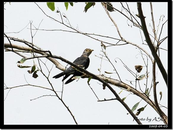 筒鳥(2009-04-05壽豐)9103