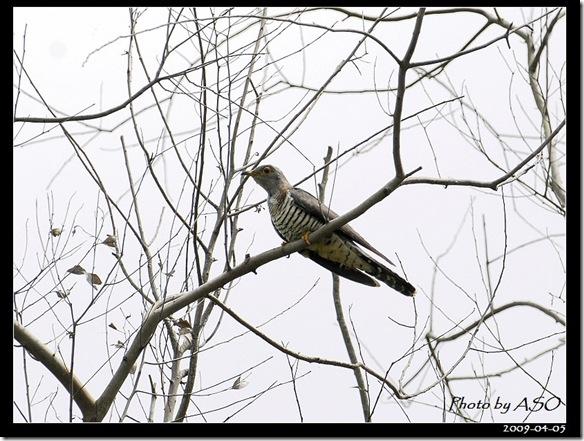 筒鳥(2009-04-05壽豐)9164
