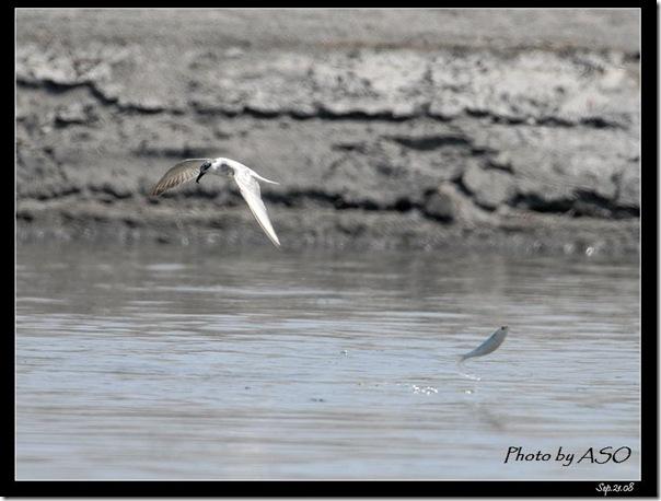 黑腹燕鷗(2008-09-21太平溪口)0902