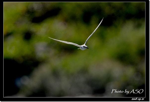 黑腹燕鷗(2008-09-21太平溪口)0953