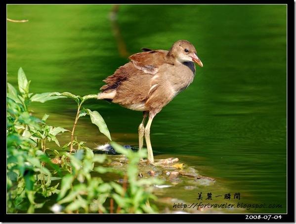 紅冠水雞亞成(2008-07-04植物園)0482