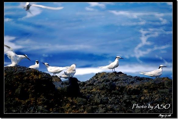 蒼燕鷗(2006-08-17綠島)0086-1