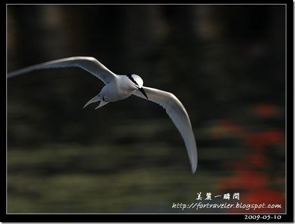 蒼燕鷗(2009-05-08大溪漁港)5522
