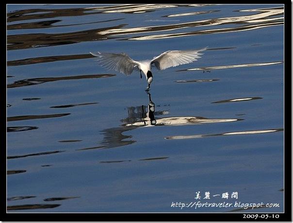 蒼燕鷗(2009-05-08大溪漁港)5605