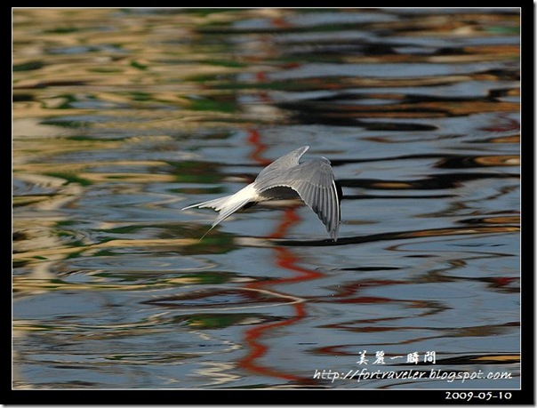 燕鷗(2009-05-08大溪漁港)5836