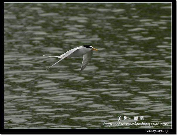 小燕鷗(2009-05-17豐坪)1052