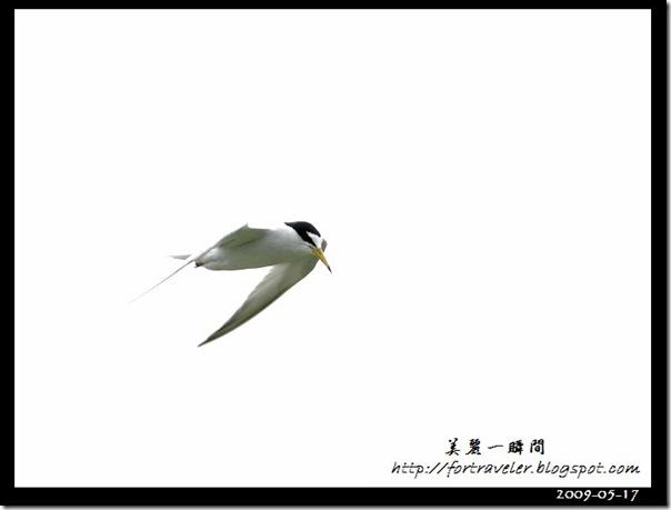 小燕鷗(2009-05-17豐坪)1063