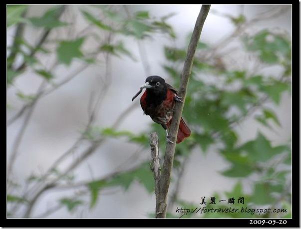 朱鸝(2009-05-20鯉魚山)1224