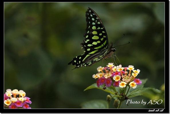 綠斑鳳蝶7951