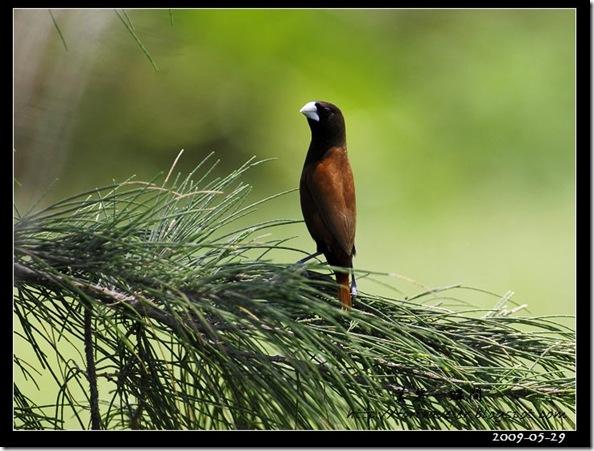 黑頭文鳥(2009-05-29七星潭)1674