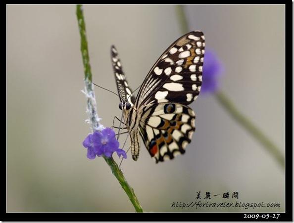 柑桔鳳蝶(2009-05-27花蓮高農)6369