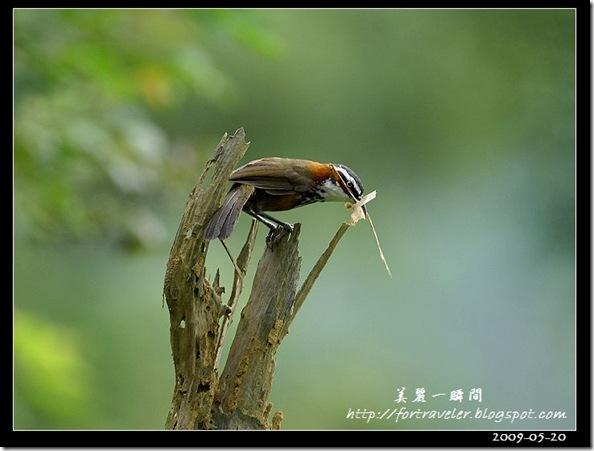 小彎嘴(2009-05-20鯉魚山)1210