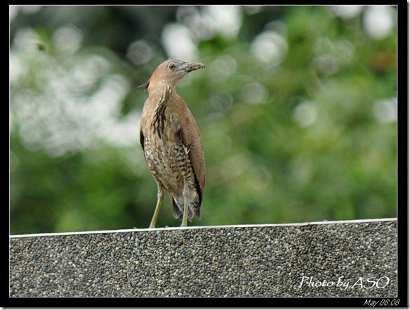 黑冠麻鷺(2008-05-08花農苗圃)0144