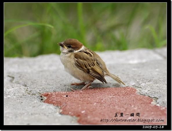 麻雀(2009-05-28花農)1611