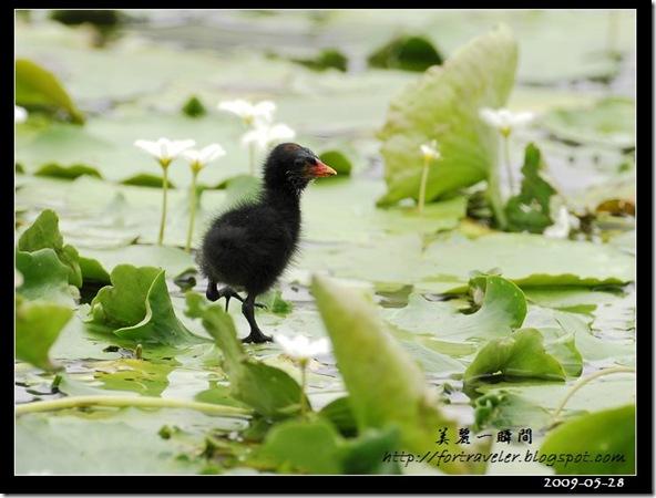 紅冠水雞(2009-05-28花農)1612
