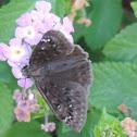 Horace's Duskywing Skipper Butterfly