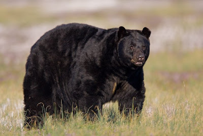 want to learn about bears bear management in north carolina