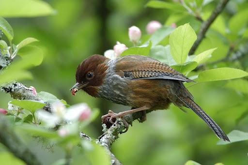 wild animals of bird streak throated barwing wiki