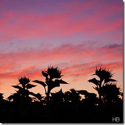 Sonnenblumensilhouetten vor Morgenrot © H. Brune