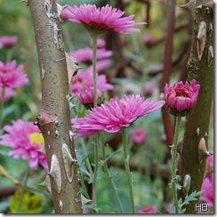 Astern und Rosendornen © H. Brune