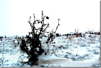 Distel im Schnee in Heiligenhafen, H. Brune