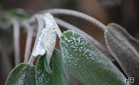 Salbeiblätter mit Frost © H. Brune