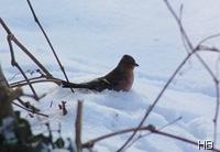 Buchfink im Schnee © H. Brune