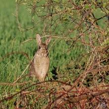 Kaninchen © H. Brune