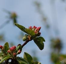 Apfelblütenknospen © H. Brune