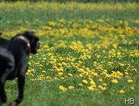 Wiese mit Löwenzahn und Hund © H. Brune