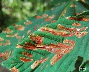Kastanienblätter mit Miniermottenbefalle © H. Brune