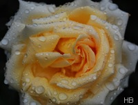 Rosa Ambiente © H. Brune