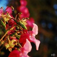 Drüsiges Springkraut © H. Brune